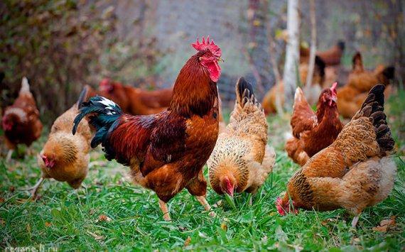 ВНовосибирской области производство мяса птицы уменьшилось на15%